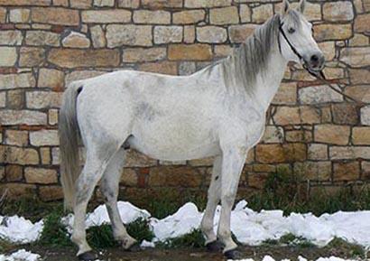 shagya-arab_drak